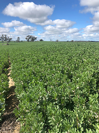 Faba beans growing on ameliorated non-wetting sands three years after the fire.
