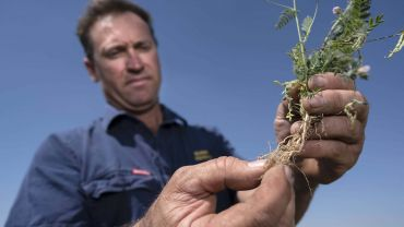 Serradella provides protein kick to wheat crops in WA