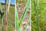Canola yield loss from upper canopy blackleg infection can be reduced