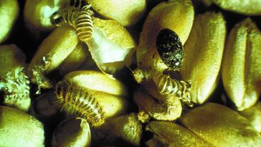 Ensure khapra beetle isn't on your shopping list this Christmas