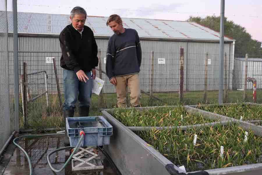 Researchers examining waterlogged barley plants in tank trials