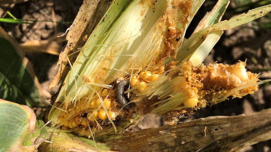 FAW eating corn
