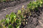 Summer crop disease breakthroughs