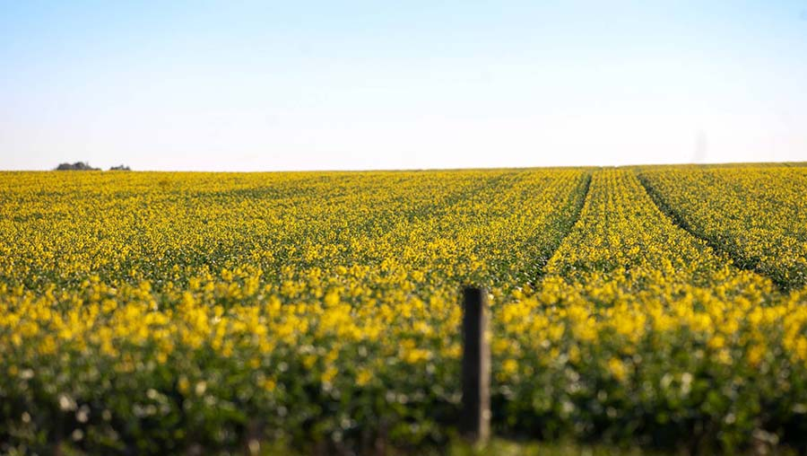 Several canola varieties can grow roots down the soil profile at a rate of about two centimetres per day from sowing to flowering. PHOTO GRDC