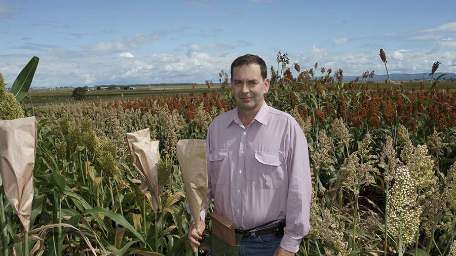 Professor David Jordan attaches a seed-collecting bag to a sorghum plant. This plant is one of tens of thousands that are hand-pollinated each year through the sorghum pre-breeding program at QAAFI. PHOTO QAAFI