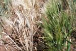Genetics offer insight into crown rot disease severity