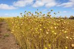 Can linseed make a comeback in the western region?