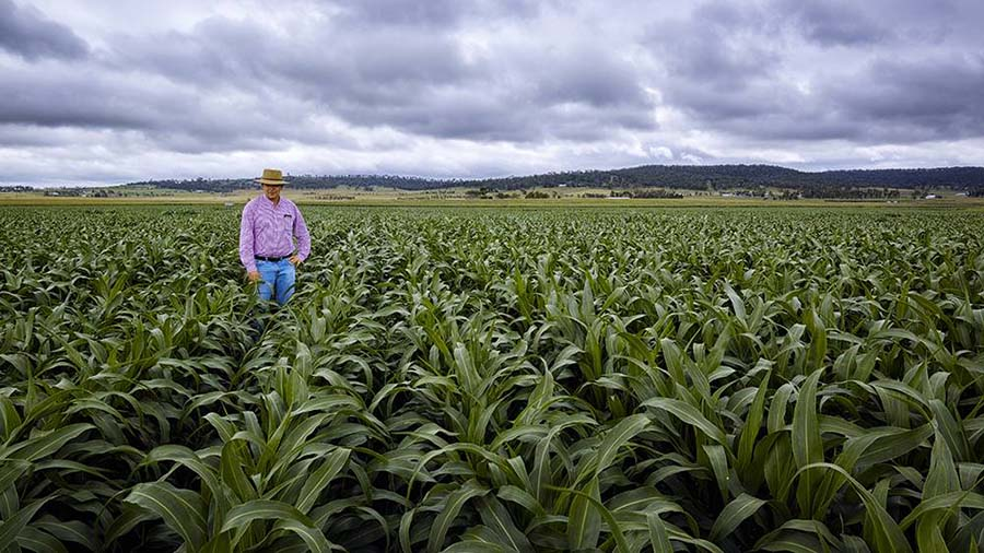 Professor David Jordan inspects a sorghum crop containing genetic material from the publicly-funded national breeding program. PHOTO QAAFI