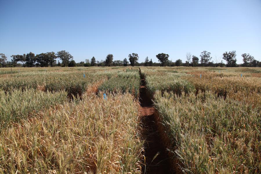 drought tolerant wheat trial