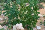 Review investigates control options for blue lupin and weeds in the west