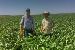 Herbicide tolerant soybeans launched