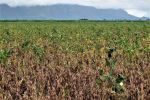 Disease outbreak in northern soybean crops spurred pathologists to visit