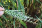 DMI resistance in wheat powdery mildew confirmed for the first time