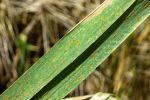 Monitoring is key to prevent leaf rust losses