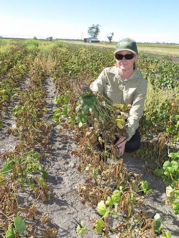 Pathologist Lisa Kelly in a mungbean crop showing signs of infection.