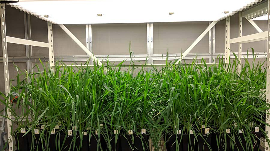 Wheat cultivar sensitivity to photoperiod and vernalisation was evaluated in controlled-environment rooms at a constant temperature of 22°C with either eight or 17-hour day lengths, and with or without vernalisation. PHOTO Max Bloomfield