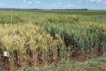 Plant breeders make gains in wheat's resilience to terminal drought