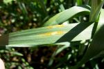 University's GRDC-invested rust research celebrates centenary