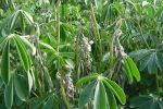 NSW clear of lupin fungus