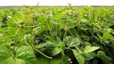 Research questions the value of applied N in mungbeans