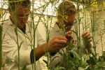 Study seeks overseas canola lines with partial resistance to sclerotinia