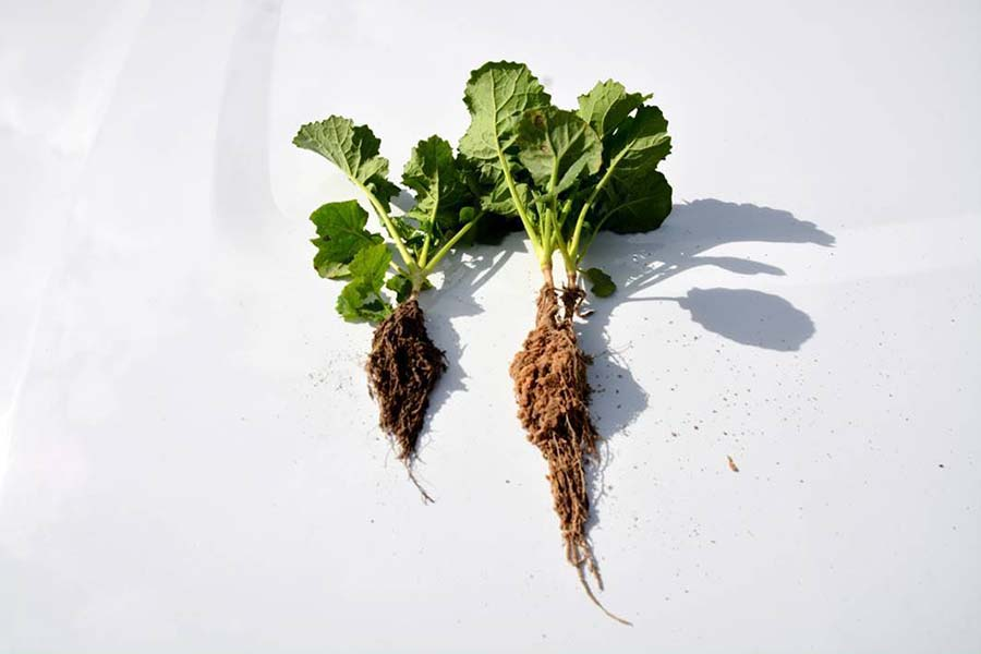 At left, shorter root growth in a non-ploughed, more-compacted soil, compared to roots from ploughed soil (right). PHOTO GRDC