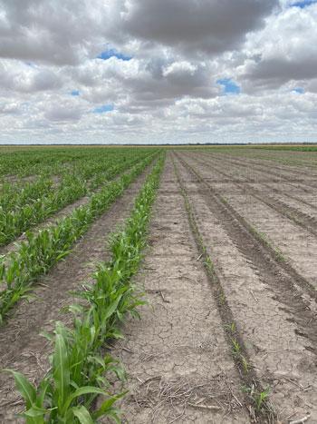 Sorghum crops growing near Moree