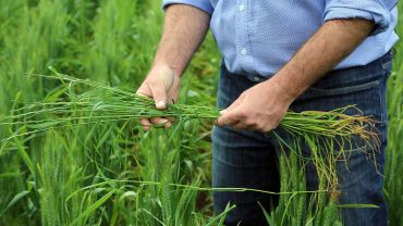 Research highlights summer adaption of annual ryegrass