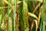 Research aims to put squeeze on crop disease