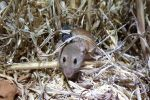 High mouse numbers in some regions mean growers must be vigilant