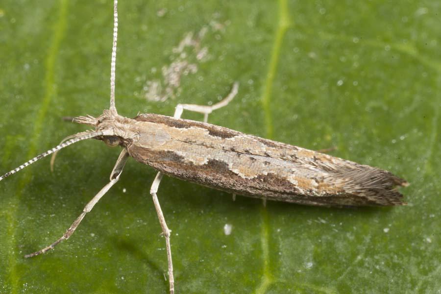 A diamondback moth at rest. PHOTO cesar