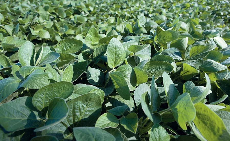 Soybeans are commonly used in plant-based protein products, but are only grown in limited quantities in Australia. PHOTO Pulse Australia
