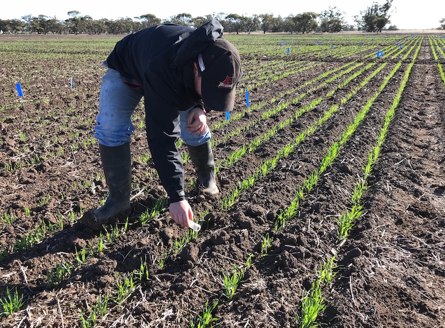Researcher inoculating Russian wheat aphid trials