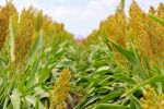Some practices may need tweaking to maintain sorghum production