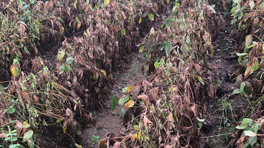 anthracnose and target spot in soybeans