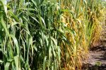 Use of fungicides in Australia puts selection pressure on fungal pathogens