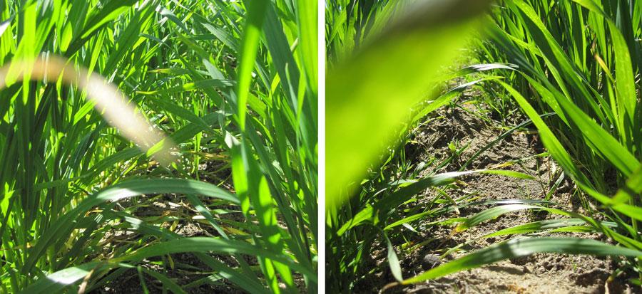 Wheat montage