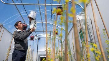 Search for canola climate genes heats up