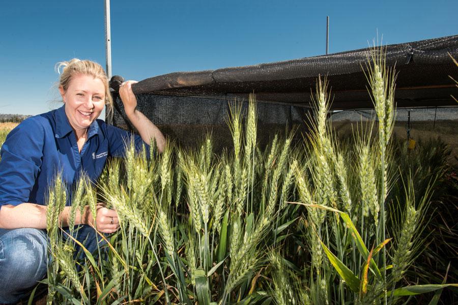 Dr Harris in a field of wheat