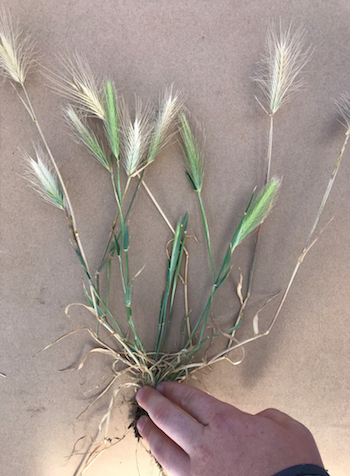 Barley grass is one of the main plant hosts for Russian wheat aphid