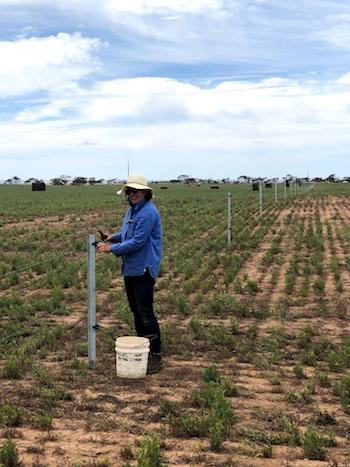Dr Caroline Lee from CSIRO fencing a paddock.