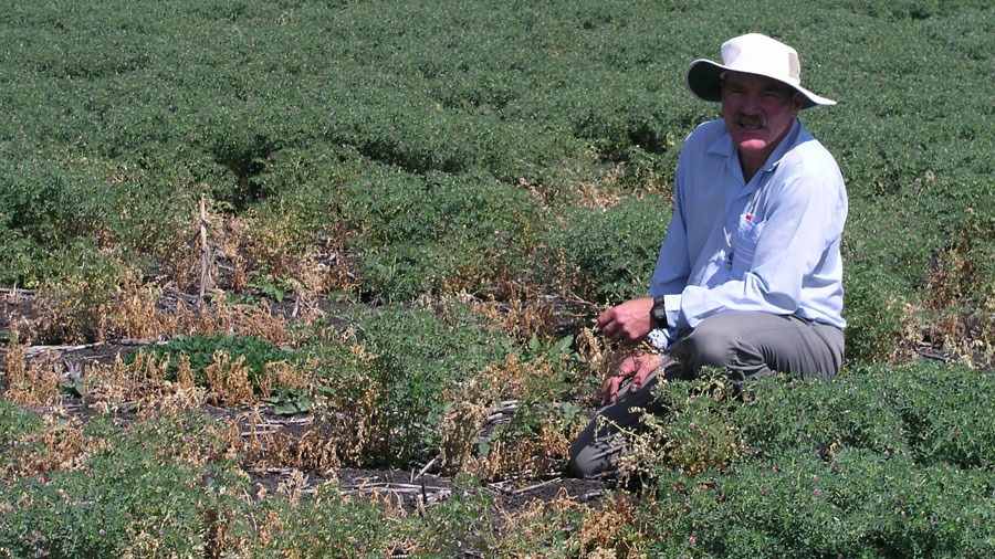 Kevin Moore inspecting Ascochyta infection in chickpeas