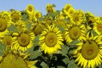 Get the good oil on sunflowers at GRDC workshops