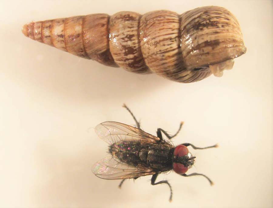 The conical snail and its nemesis imported from Morocco - a new strain of parasitic fly.