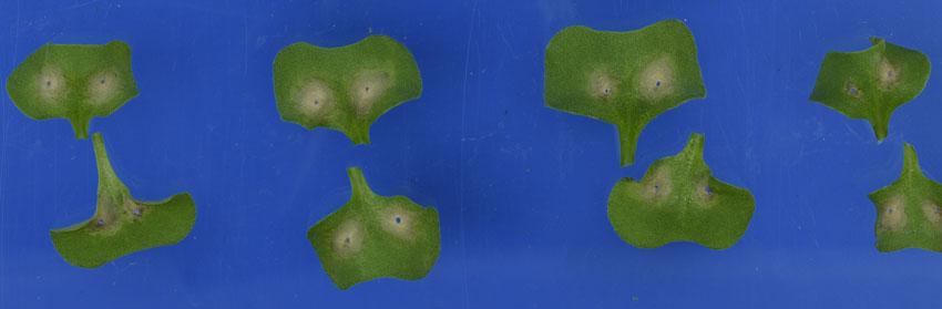 measuring blackleg lesion development on canola cotyledons