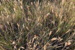 Act now to stop feathertop Rhodes grass establishment