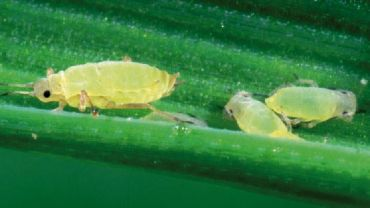 Monitoring needed to improve wheat aphid knowledge
