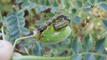 Best practice key to Helicoverpa insecticide resistance
