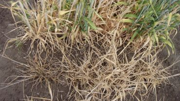 Wild wheat relative leads to crown rot gene discovery