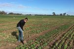 Root disease a growing concern for pulse crops